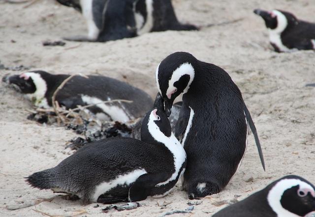 イチャイチャしているペンギン!僕もビーチでイチャイチャしたい!!