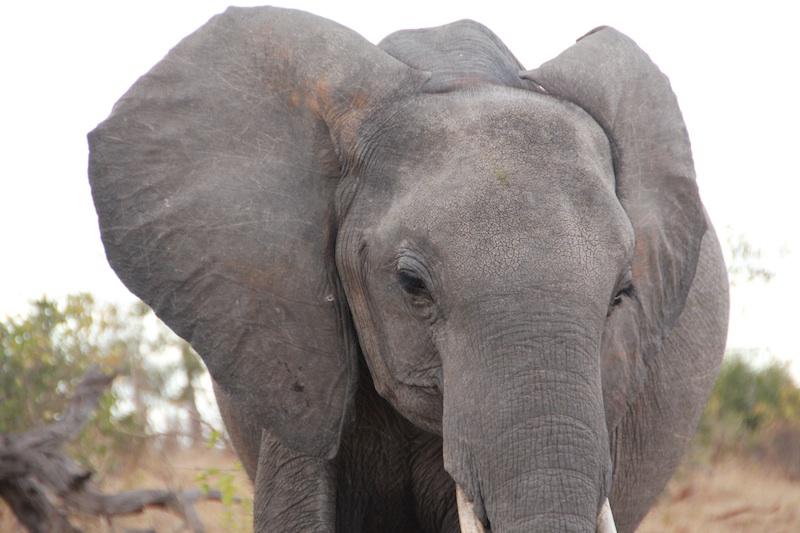 めっちゃ近くまで来る象