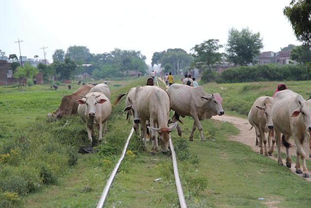 牛も人も線路が通り道